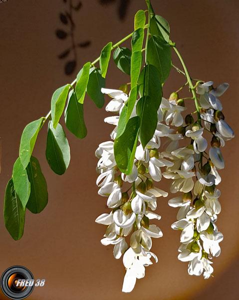 Acacia fleurs