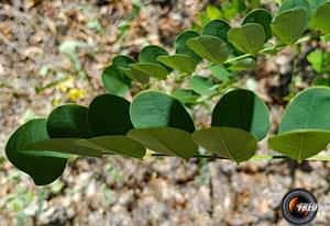 Acacia5
