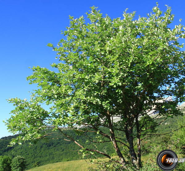 Alisier blanc arbre