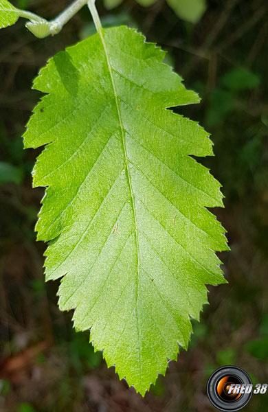 Alisier de mougeot feuilles