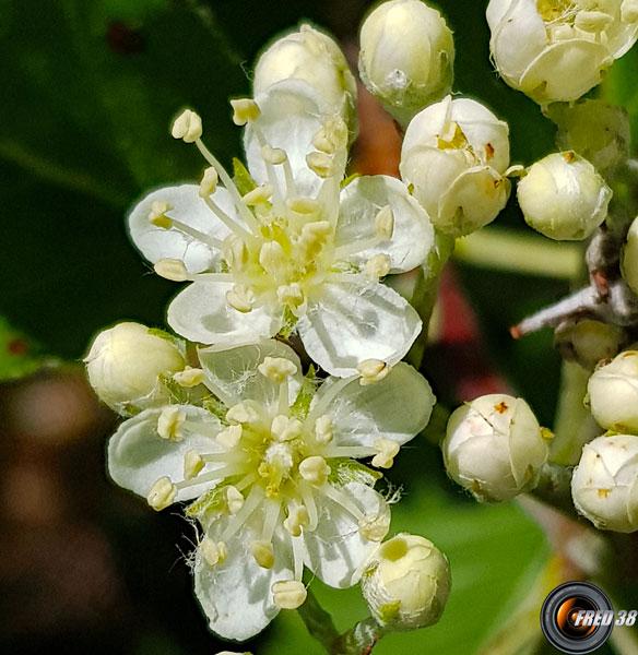Alisier de mougeot fleurs1