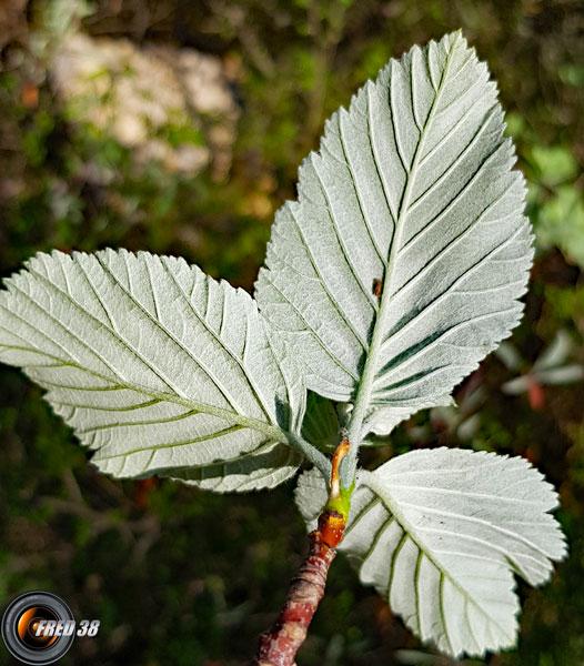 Alisier feuilles dessous