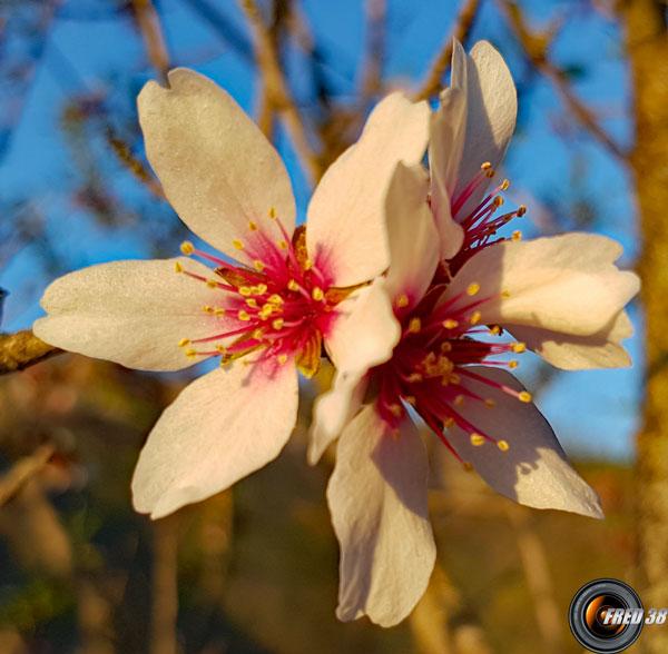 Amandier fleurs2