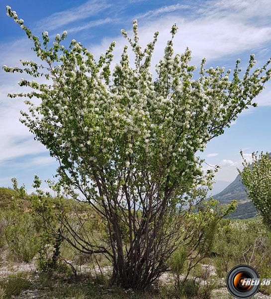 Amelanchier arbre 1