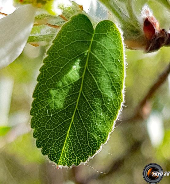 Amelanchier feuilles