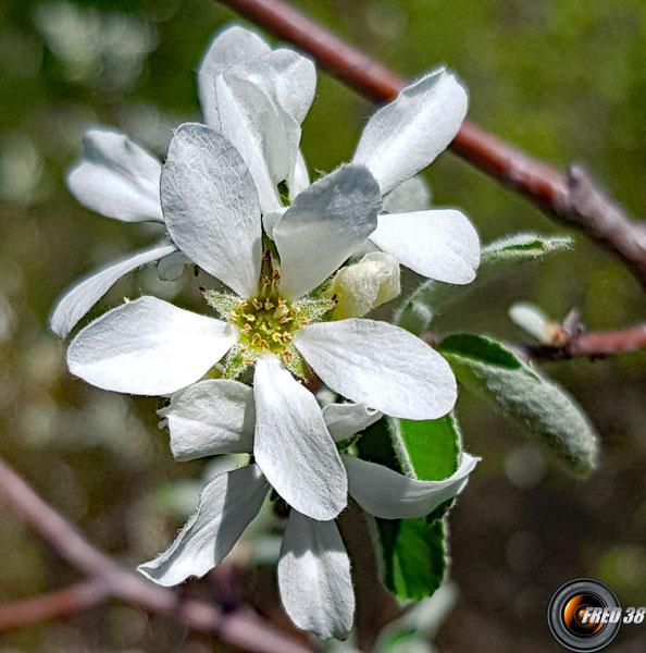 Amelanchier fleur