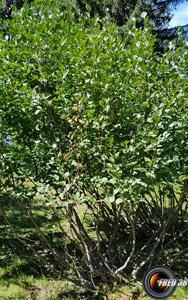 Arcosse arbres