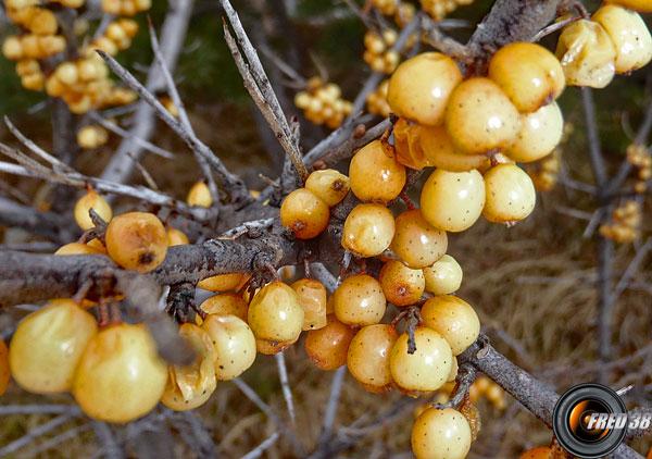 Argousier fruits1