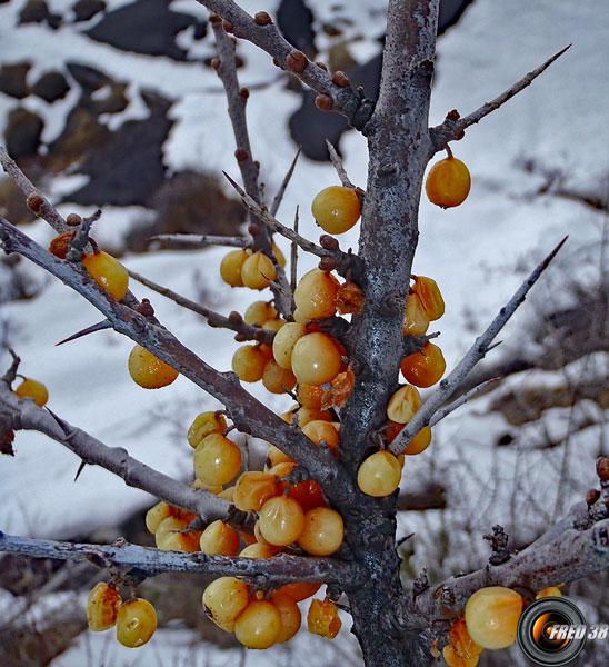 Argousier fruits2