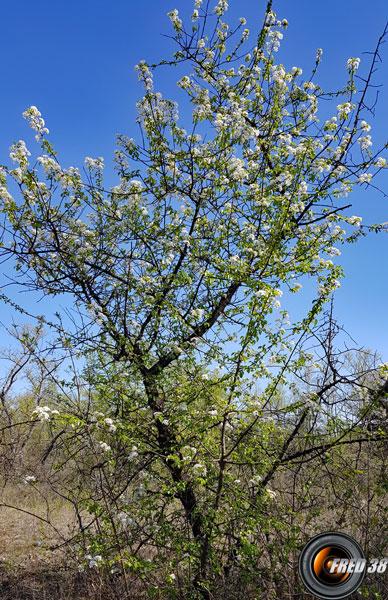 Aubepine arbre