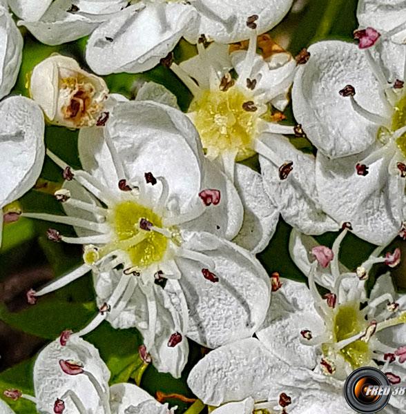 Aubepine fleurs2