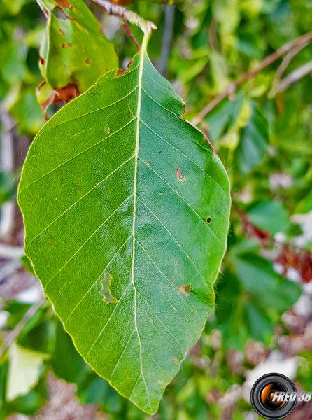 Aulne de montagne feuilles