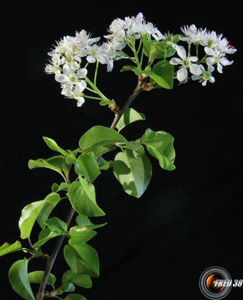 Bois de sainte lucie fleurs