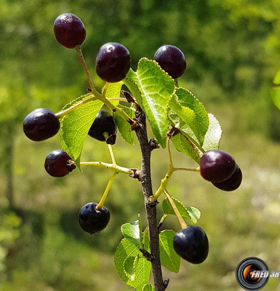 Bois de ste lucie fruits