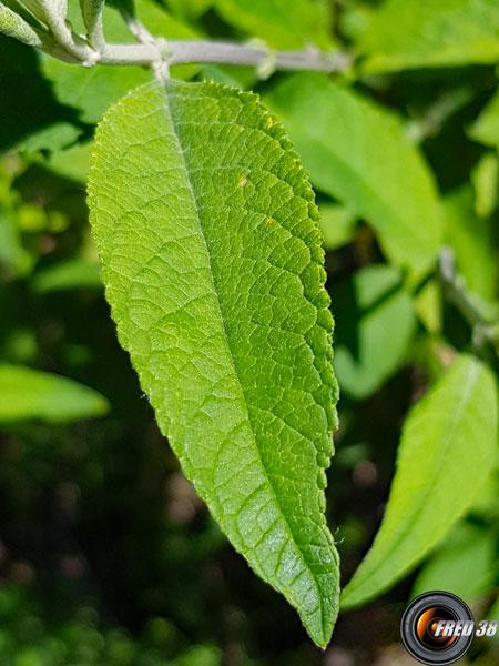 Buddleia feuilles