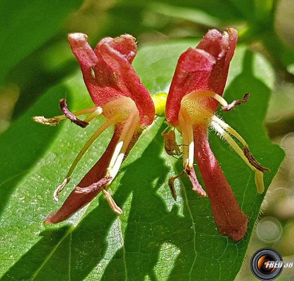 Camerisier des alpes fleurs2