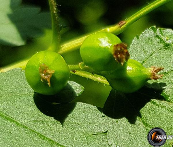 Cassis fruits