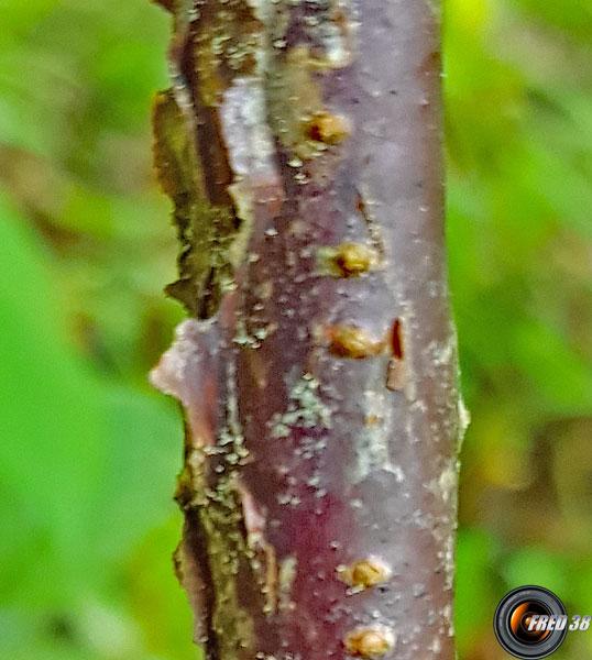 Cassis tronc