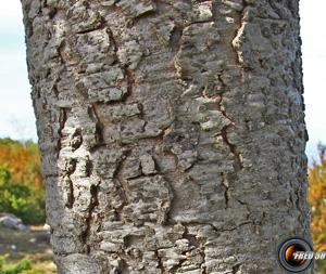 Cedre de l atlas tronc