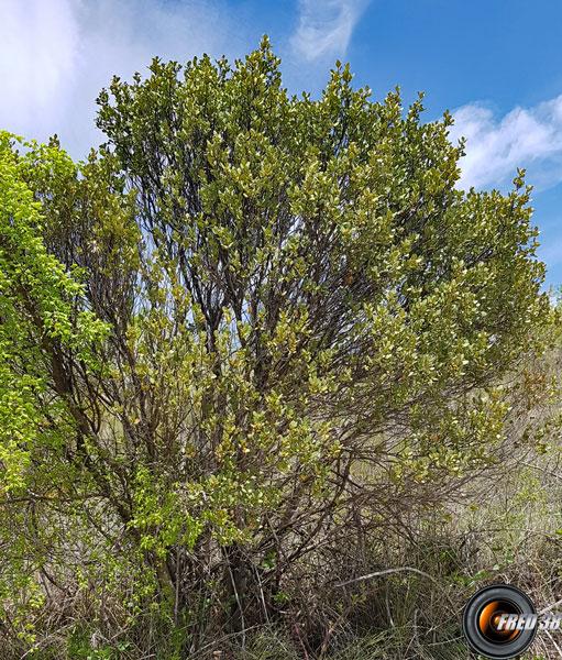 Chene a feuilles rondes arbres
