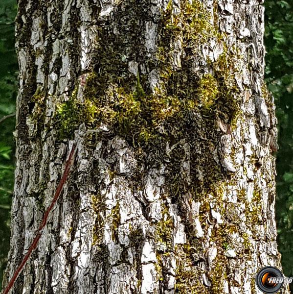Chene pedoncule tronc