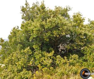 Chene vert arbre