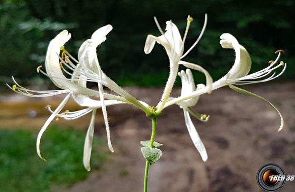 Chevrefeuille des bois fleurs