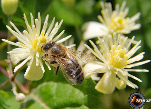 Clematite vigne blanche fleurs