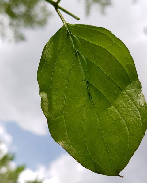 Cornouiller sanguin feuilles