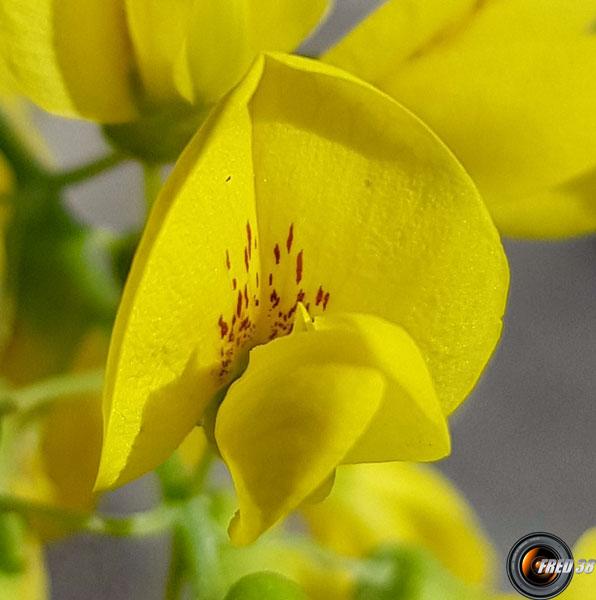 Cytise fleur2