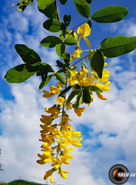 Cytise fleur3