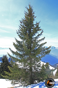 Epicea arbres