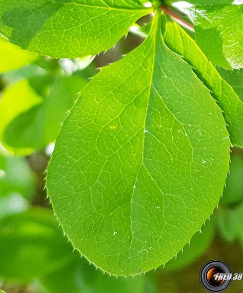 Epine vinette feuilles