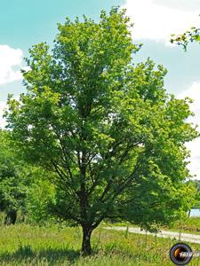 Erable champetre arbre
