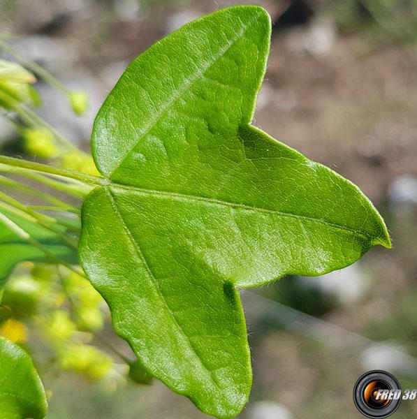 Erable de montpellier feuilles