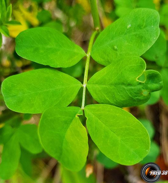 Faux baguenaudier feuilles