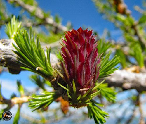 Fleurs de meleze mercantour