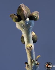 Frene bourgeons