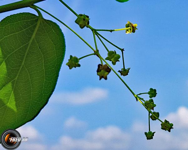 Fusain a larges feuilles fleurs