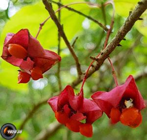 Fusain a larges feuilles fruit