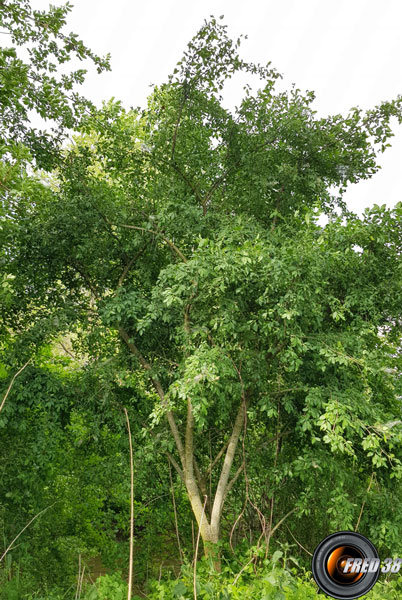 Fusain arbre