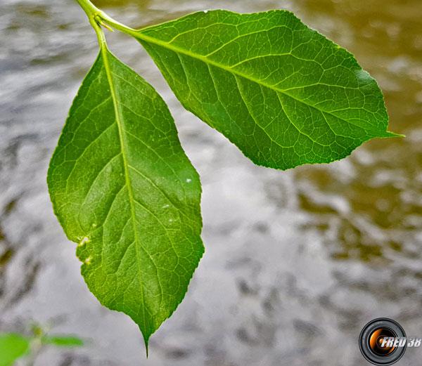 Fusain feuilles
