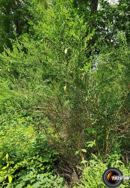 Genet a balai arbre
