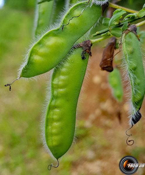 Genet a balai fruits