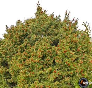 Genevrier de phenicie arbre
