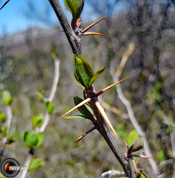 Groseiller a maqueraux branche