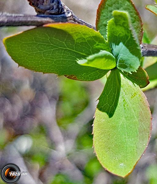 Groseiller a maqueraux feuilles