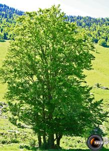 Hetre arbres