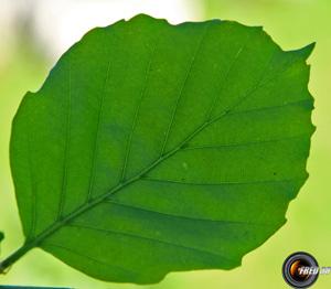 Hetre feuilles