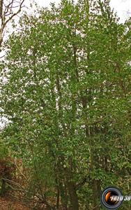 Houx arbre
